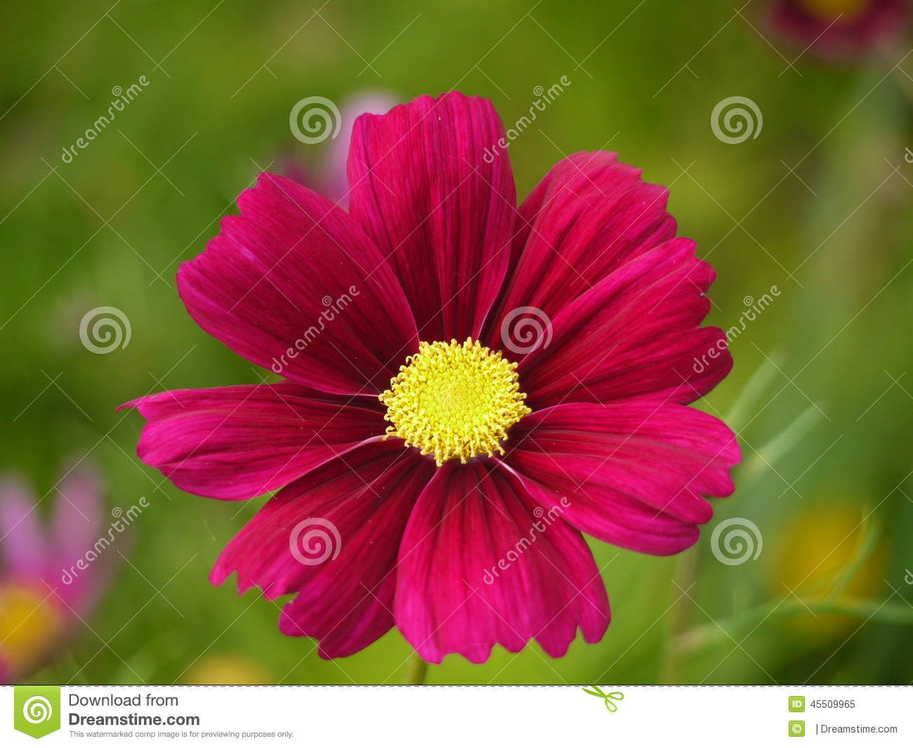 Dark pink cosmos flower tattoos pinterest cosmos cosmos dark pink cosmos flower mightylinksfo Image collections