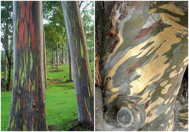 regenboog eucalyptus2