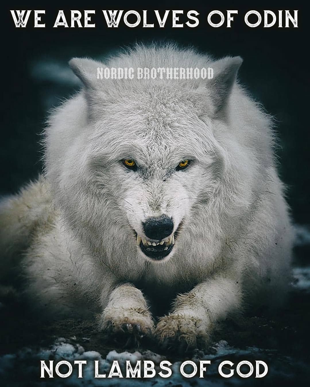 Nordic Brotherhood White Wolf Dogs Wolf Love