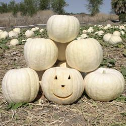 Pumpkin days to maturity