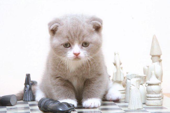 Le scottish fold, un chat très original , Chatterie des Doux Coeurs