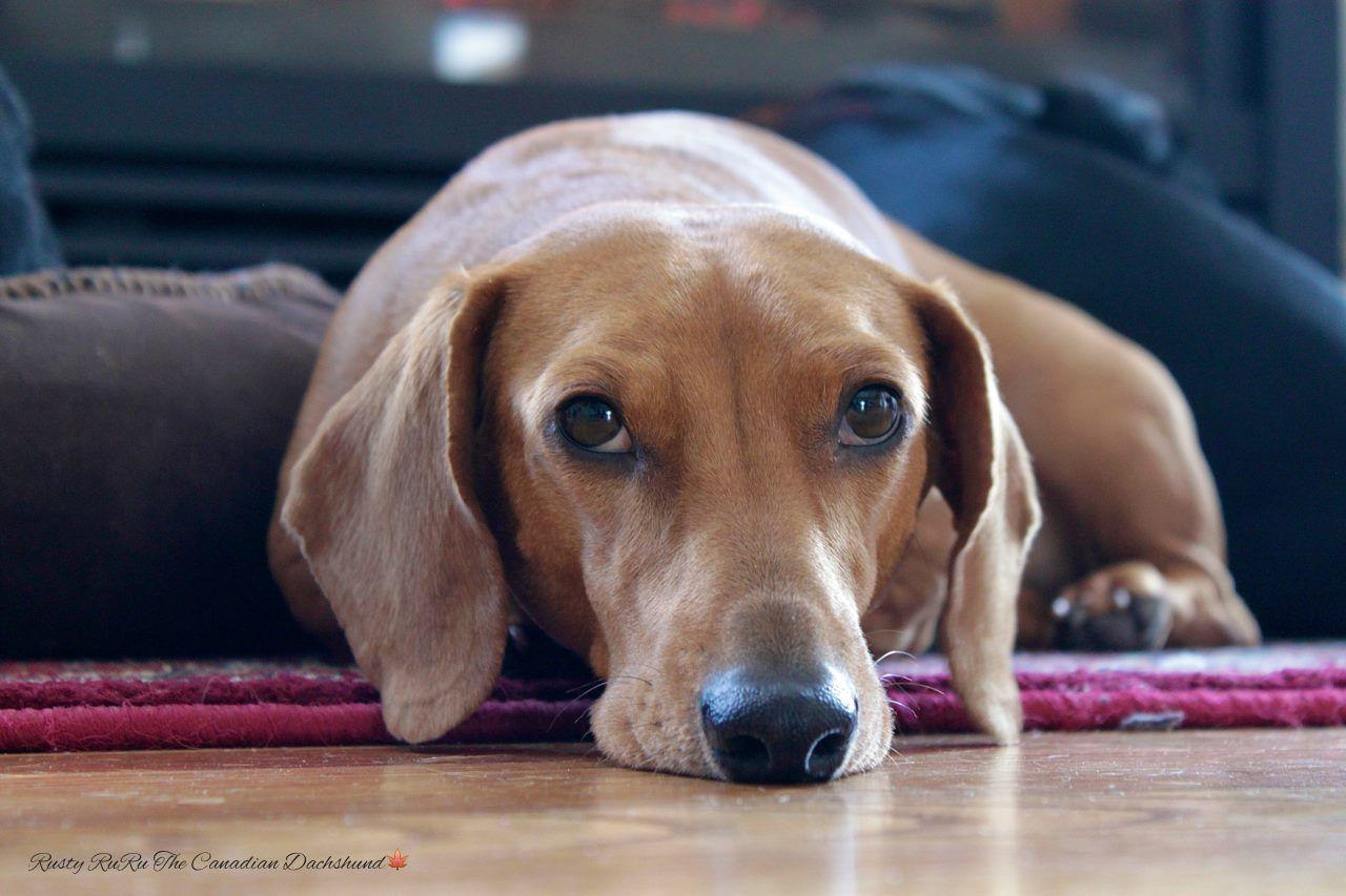 Rusty Ruru The Canadian Dachshund Rescue Dogs Cute Animals