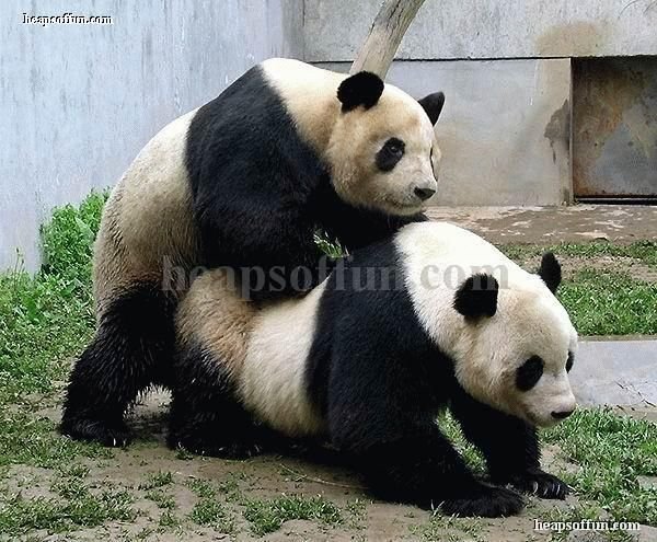 Funny panda pictures funny pictures pinterest funny panda pictures voltagebd Choice Image