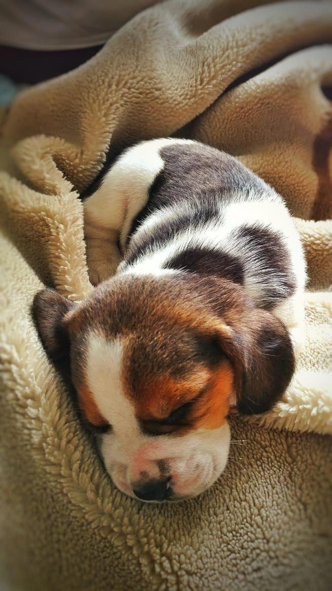 Beagle Friendly and Curious Beagle puppy, Cute beagles