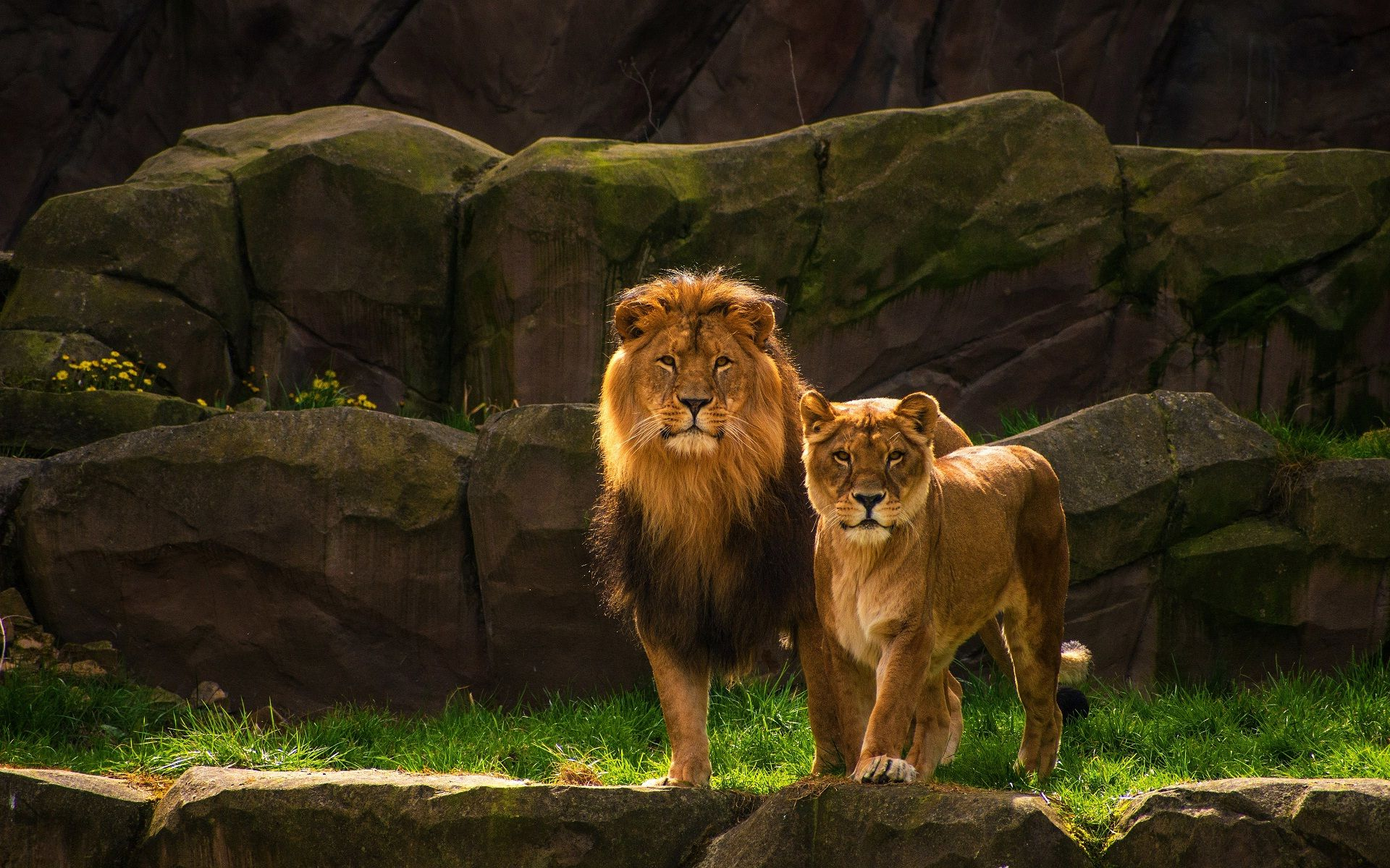 Lion And Lioness In Forest Wild Animal Hd Background Wallpaper
