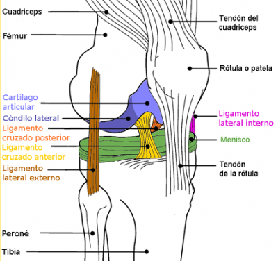 Gemino Superior E Inferior Buscar Con Google Anatomía De La Rodilla Anatomia Humana Huesos Anatomía Médica