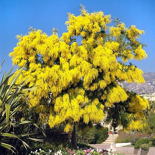 Mimosa acacia dealbata flores y plantas pinterest for Arboles de hoja perenne y crecimiento rapido para jardin