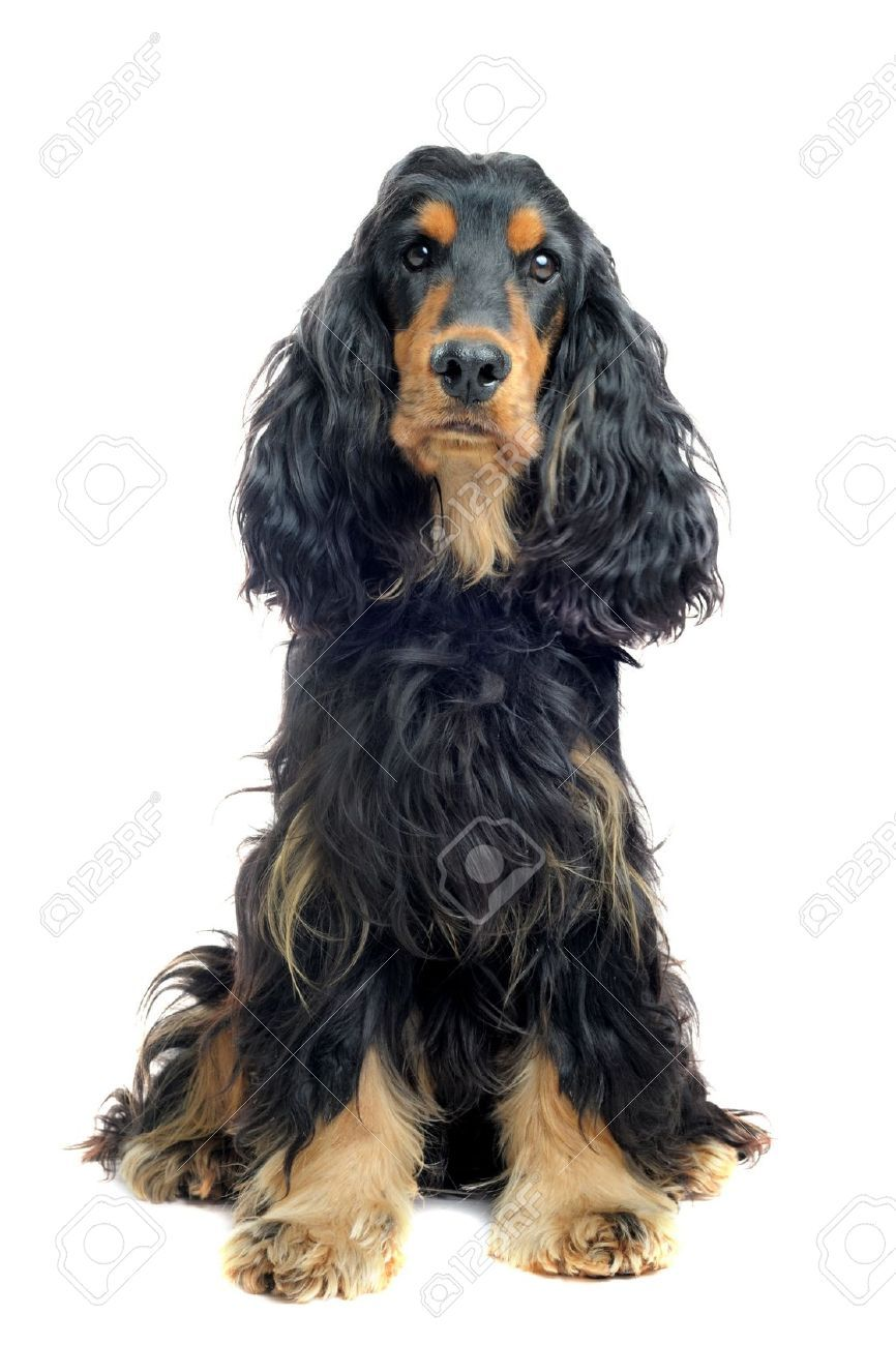 Portrait Of A Purebred English Cocker Black And Tan In A Studio English Cocker Dog Portrait Photography Black And Tan