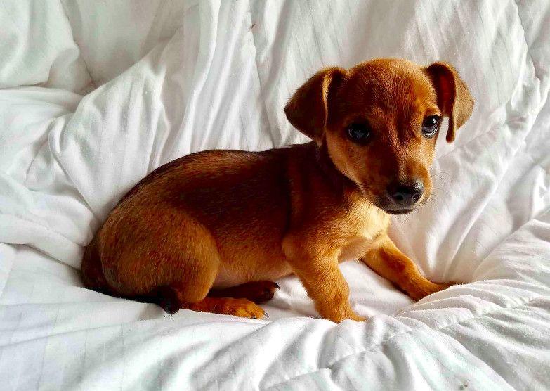 Adopt Gemini On Puppy Adoption Adoption Pets