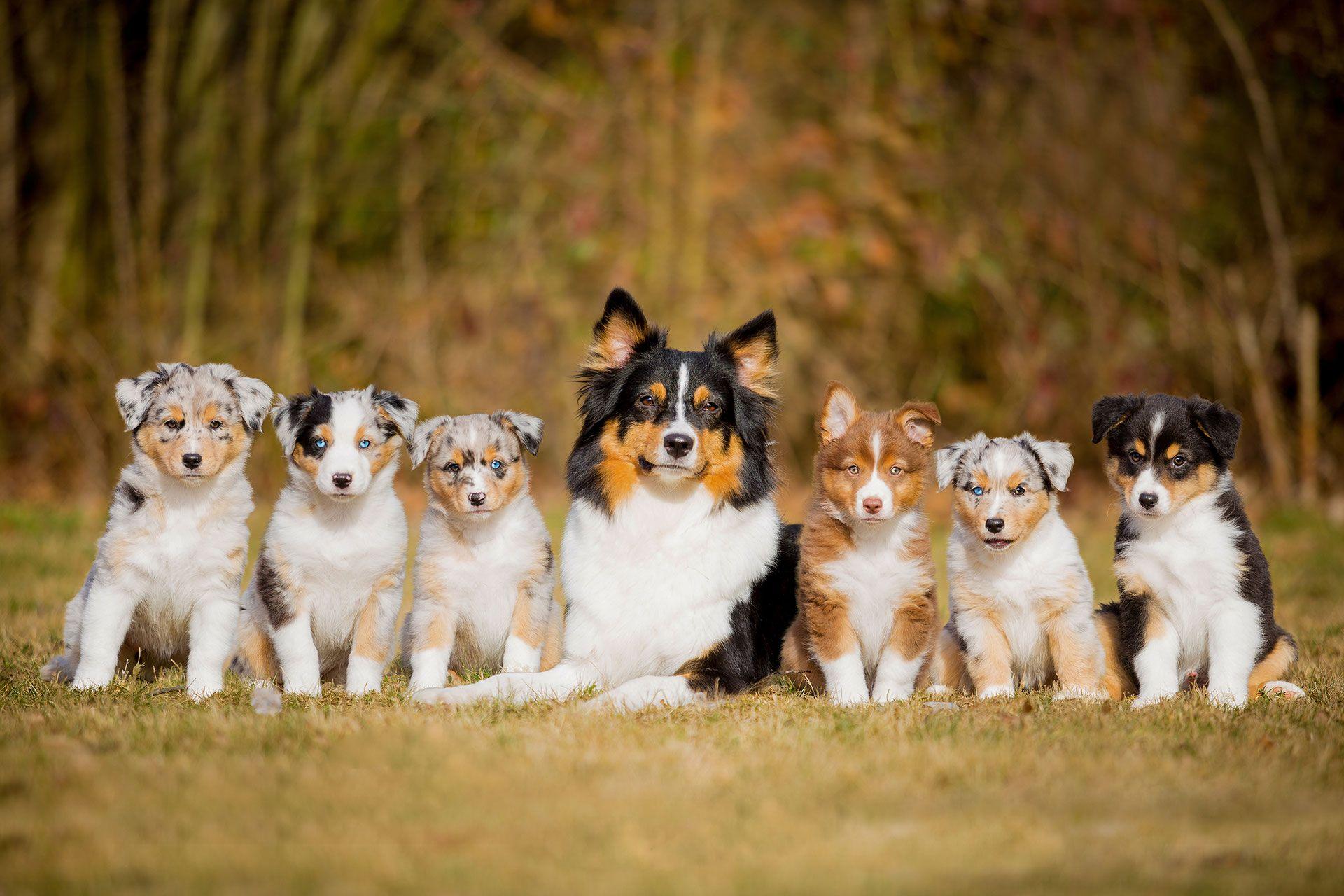 Something Special Mini Aussie Something Special Miniauss Jimdo Page Aussie Welpen Susse Tiere Aussie Hund