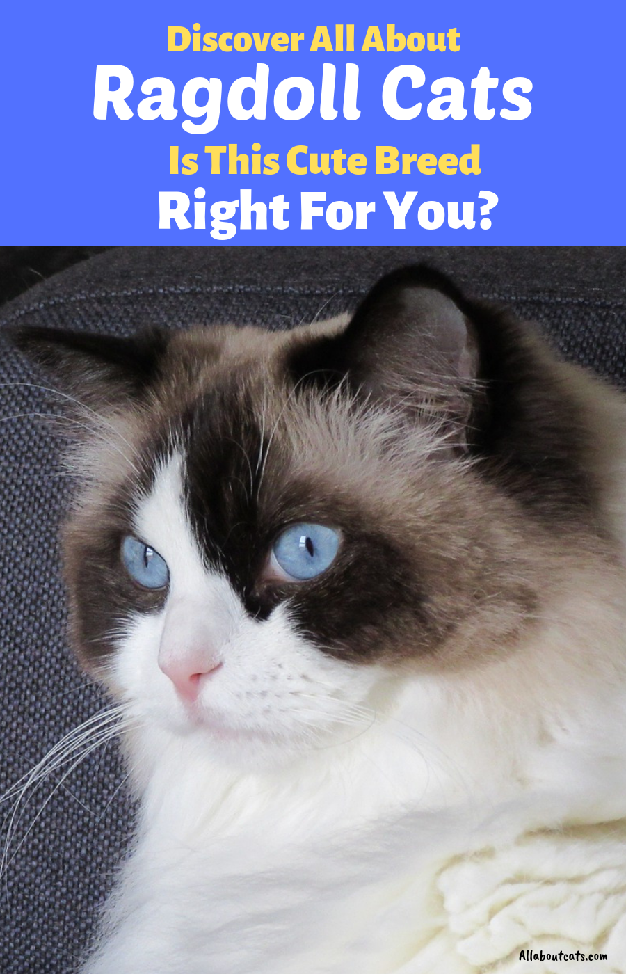 All About Ragdoll Cats (Find Out If This Cute Breed Is