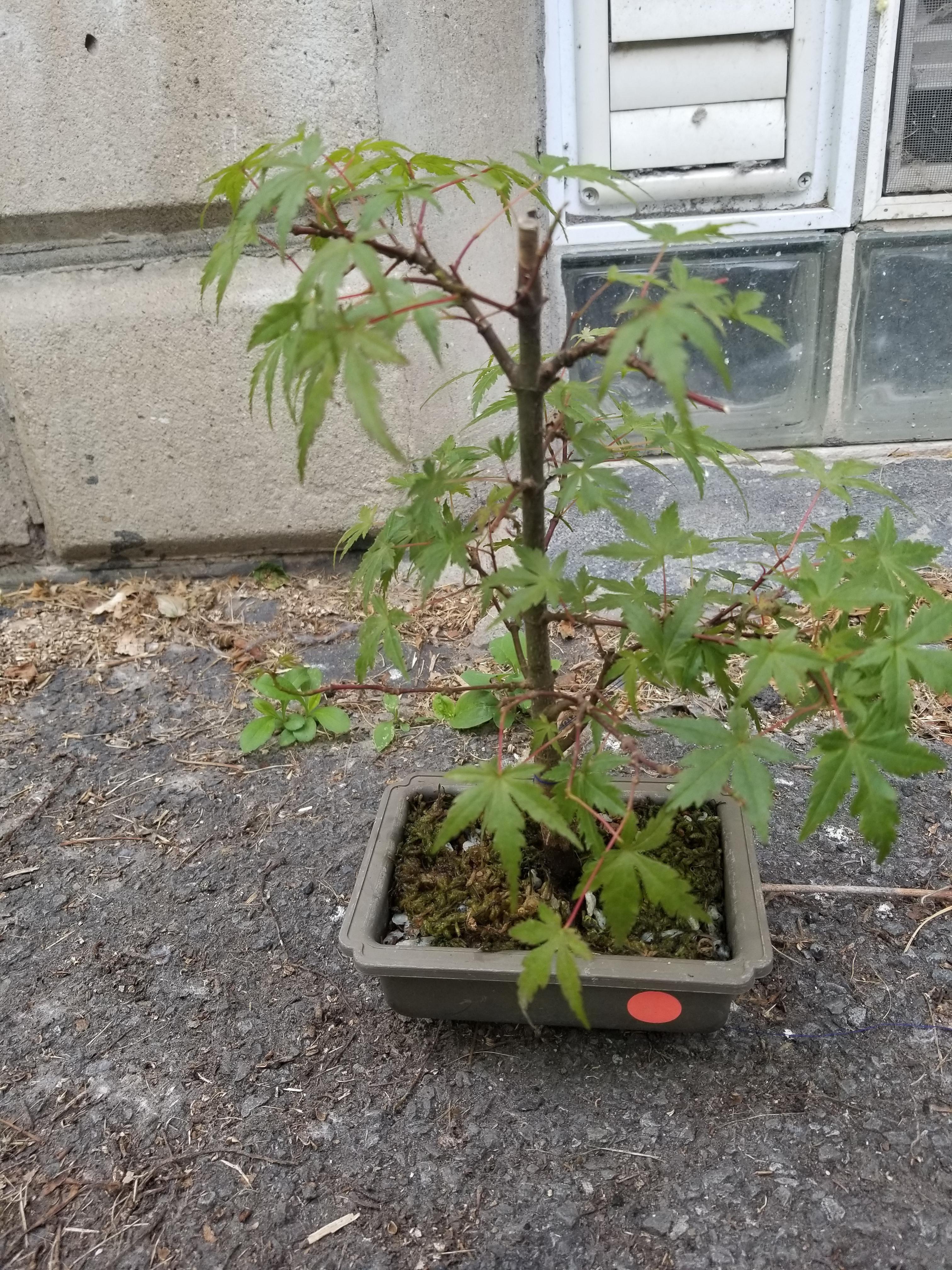 #bonsai #Japanese #Maple #western Japanese maple, western NY. First bonsai, I think it's doing ok #japanesemaple #bonsai #Japanese #Maple #western Japanese maple, western NY. First bonsai, I think it's doing ok #japanesemaple