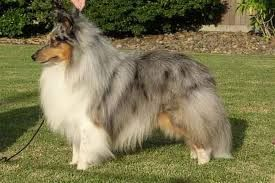 Image Result For Variety Of Shelties Sheep Dog Puppy Shetland Sheepdog Puppies Shetland Sheepdog