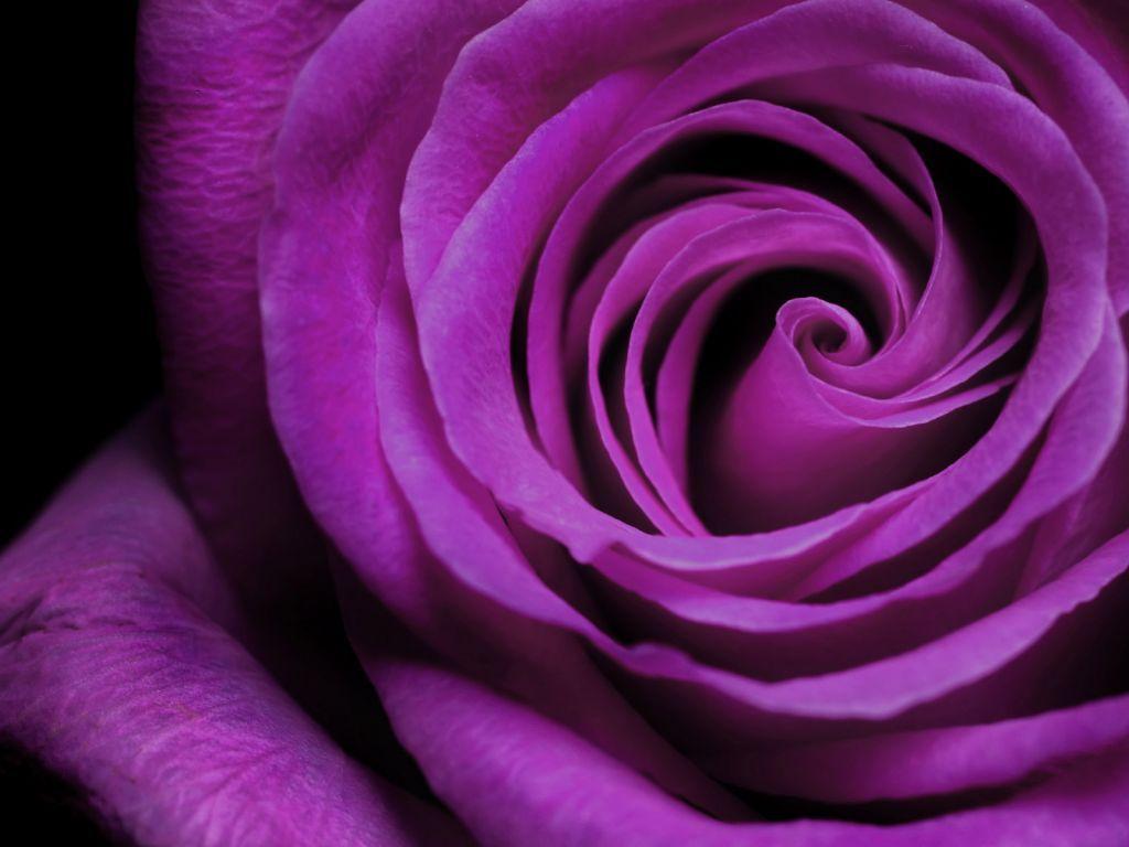 Image Detail For Rose Flower Wallpaper Free 83151