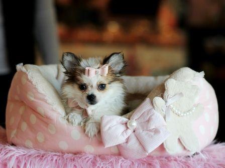 Stunning Pomeranian Shih Tzu Mix Dolce For Sale 954 353 7864 Www Teacuppuppiesstore Com Pomeranian Shihtzu Pomshih Morkie Puppies Morkie Puppies For Sale Puppy Store