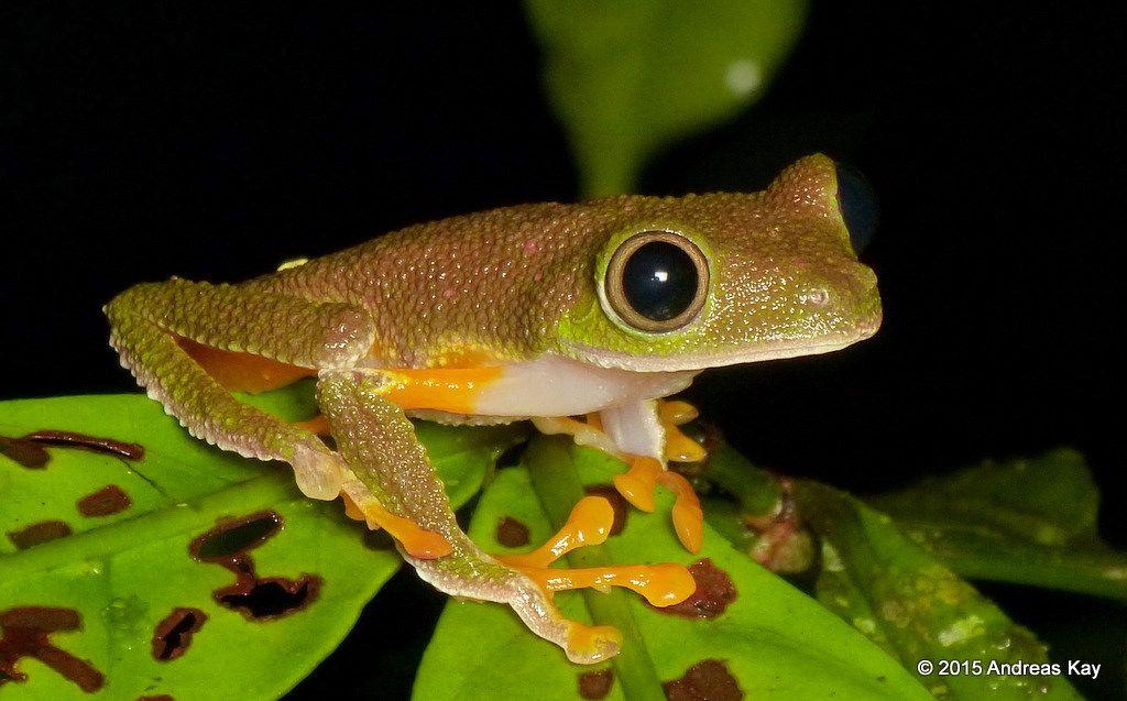 Treefrog, Agalychnis hulli from the Amazon rainforest near Puyo, Ecuador…