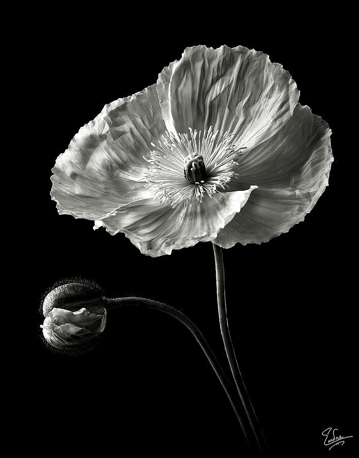 Poppy In Black And White Photograph | Flora | Pinterest | Blumen
