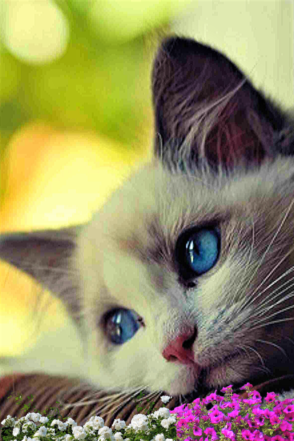 But Mommy In 2020 Cat With Blue Eyes Cats Beautiful Cats