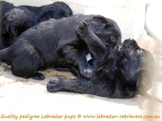 Black Labrador Puppies For Sale Dogs Labrador Puppies For Sale Labrador Puppy Training Labrador