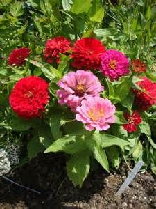 fruit for hummingbirds - Zinnias
