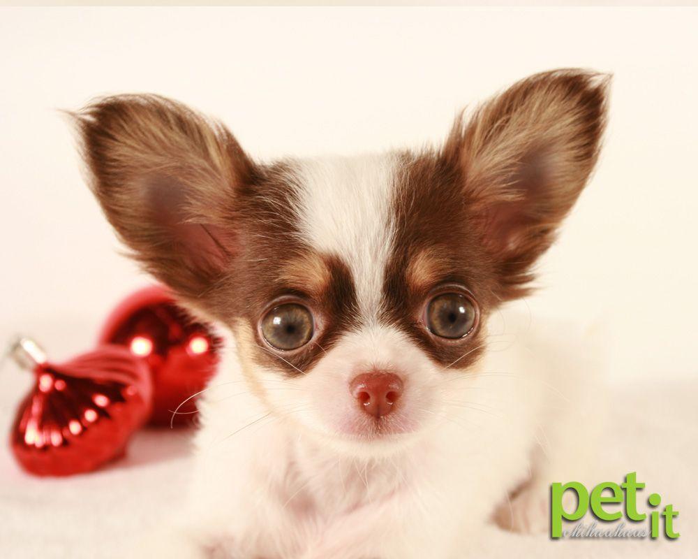 Past Chihuahua Puppy Houdini Chihuahua Love Baby Puppies