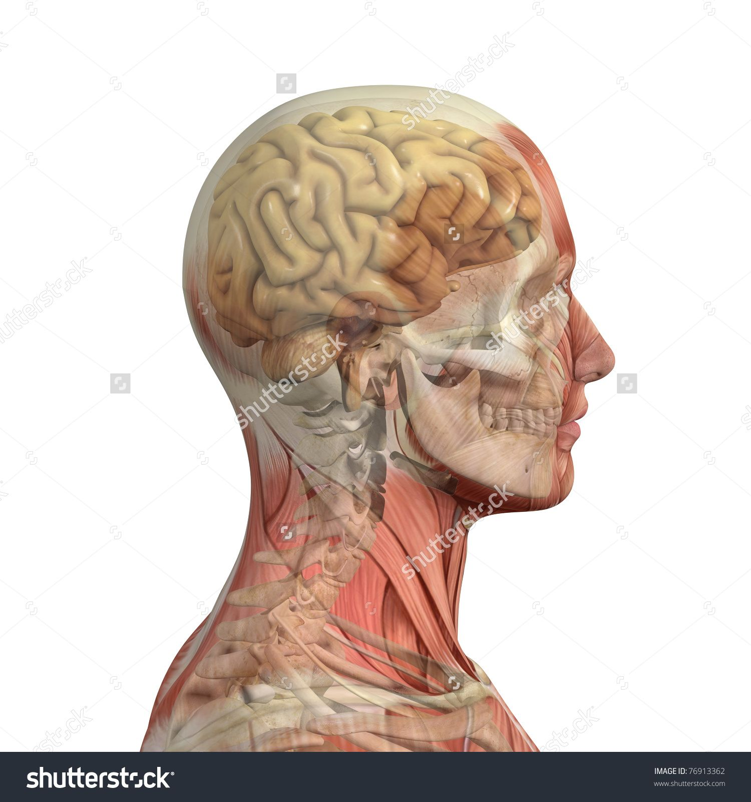 stock-photo-male-head-with-skull-and-brain-showing-through ...