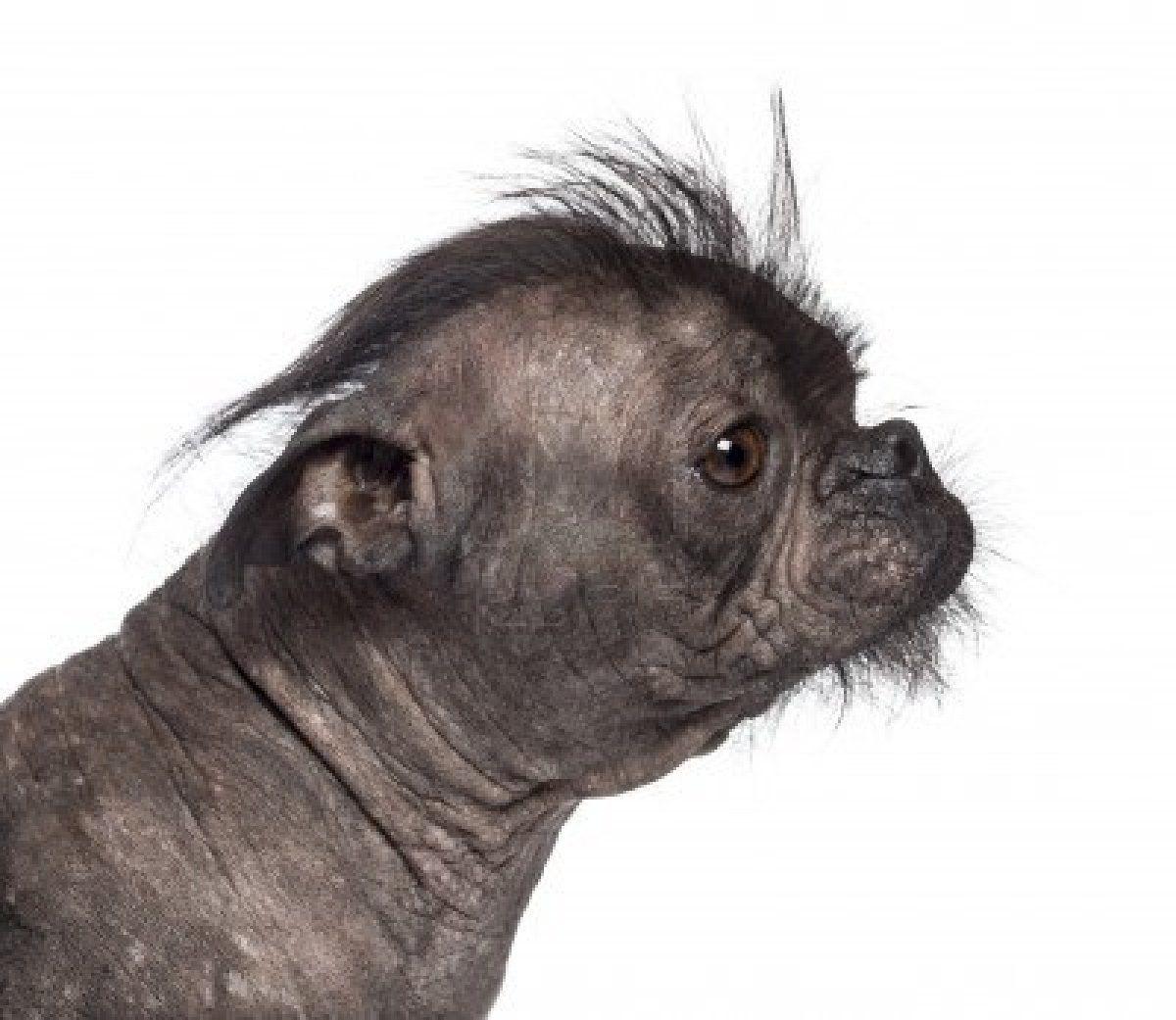 16773980 Hairless Dog Mix Between French Bulldog And Chinese