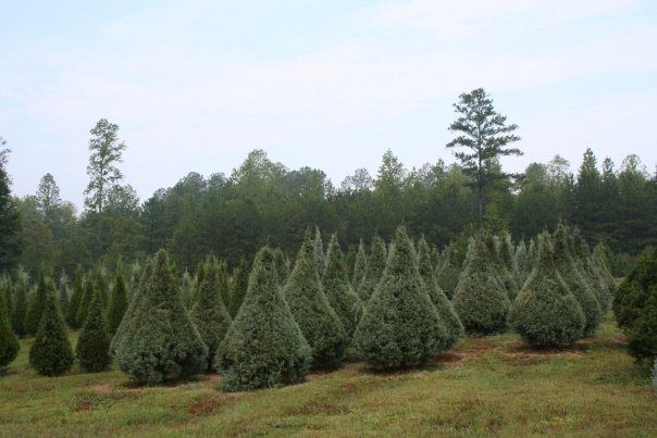 8 Great Christmas Tree Farms Near Atlanta With Images Christmas Tree Farm Tree Farms Tree