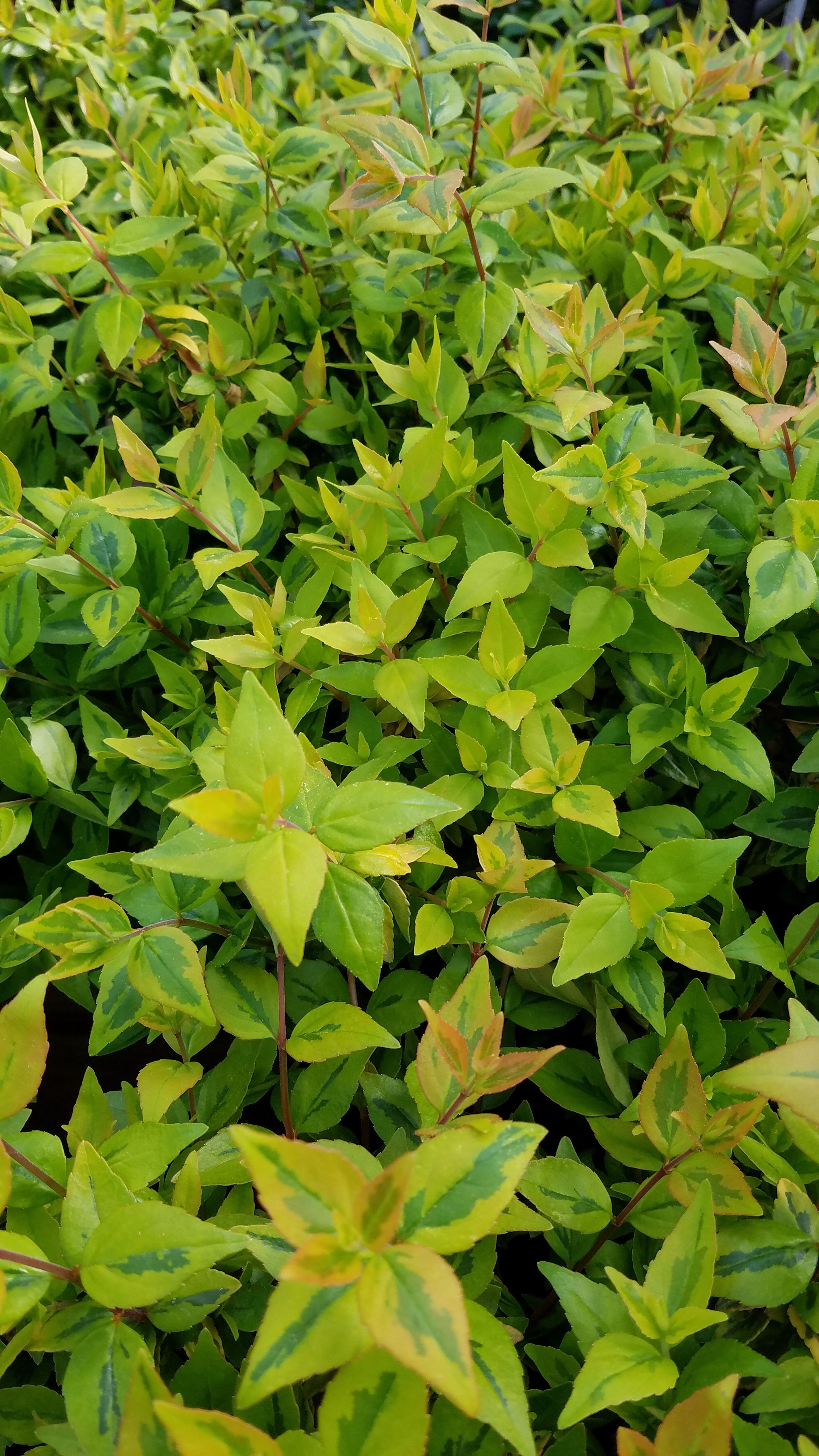 Kaleidoscope Abelia Is An Easy Care Shrub With Beautiful Variegated
