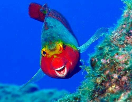 Caribbean Sea Animal Life: Very Rare Caribbean Clown Snapper
