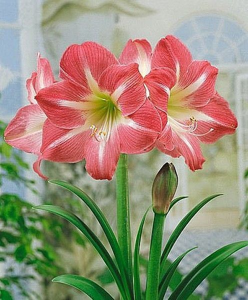 Amaryllis Red Flower Amaryllis Amaryllis Flowers Lawn And Garden