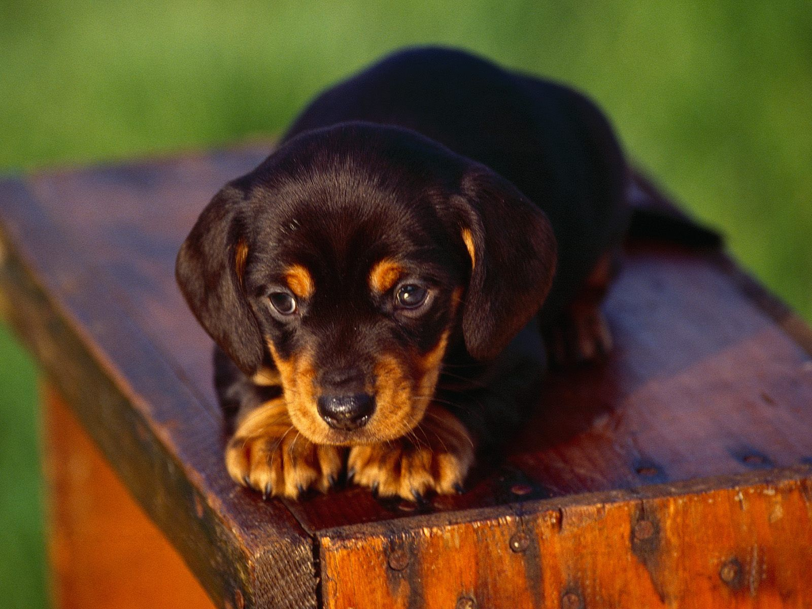 Black And Tan Coonhound Puppy Riley Looked Identical To This