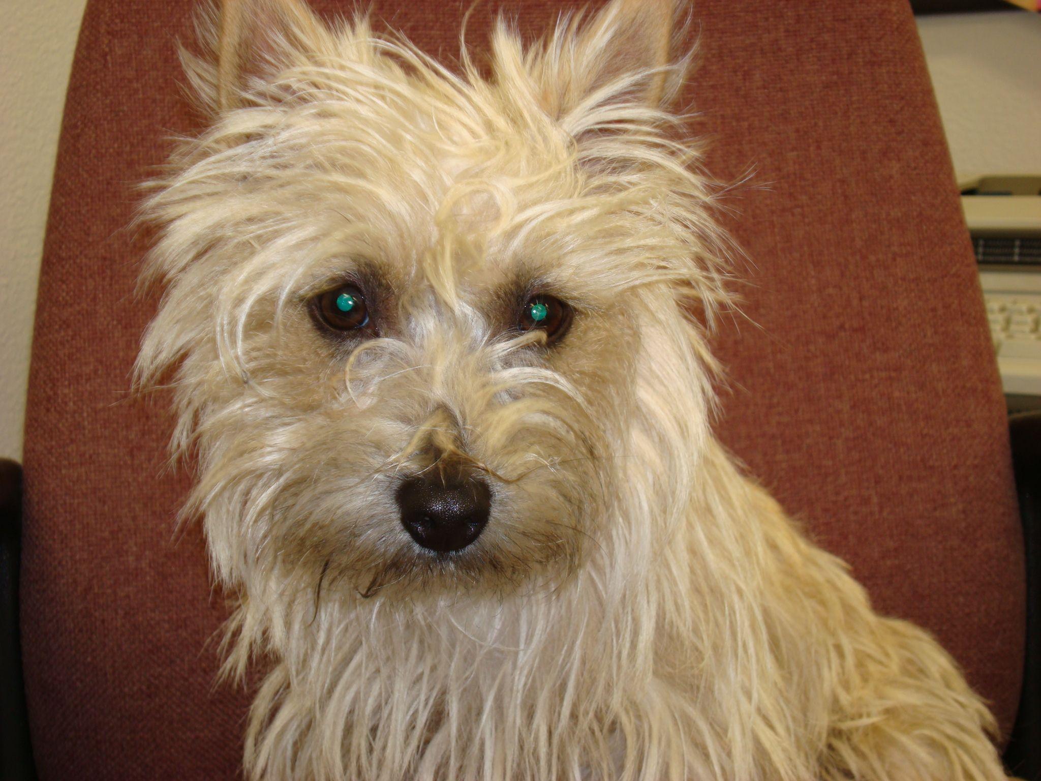 Cairn Terrier Jojo Cairn Terrier Terrier I Love Dogs