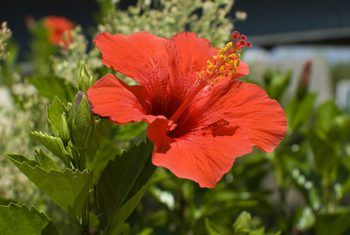 Rosehip Hibiscus Tea Benefits Hibiscus Bush Hibiscus Tree