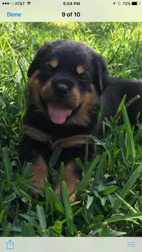 Rottweiler puppy for sale in GRAPEVINE, TX. ADN34066 on