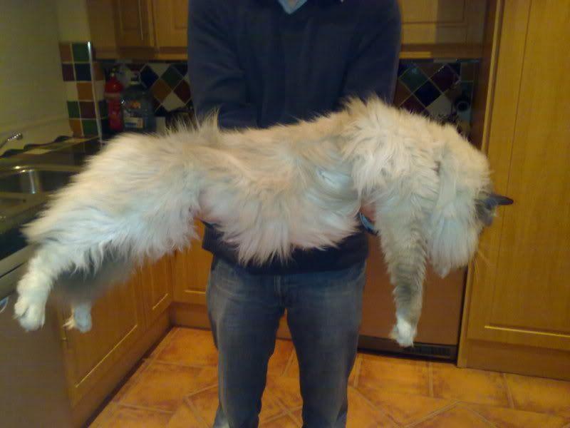 giant ragdoll cats - Google Search | Kitties | Pinterest ...