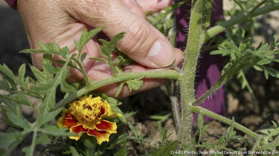 Entretien Des Plants De Tomates Avec Images Planter Tomates