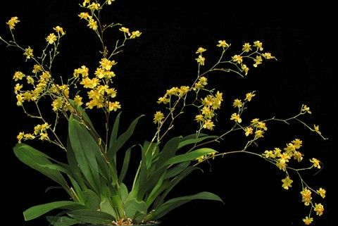 Oncidium Twinkle Yellow Fantasy 4 By Tonettep In Dpreview Galleries Oncidium Fantasy Orchids