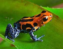 R Imitator Pix For Gt Amazon Rainforest Poison Arrow Frog
