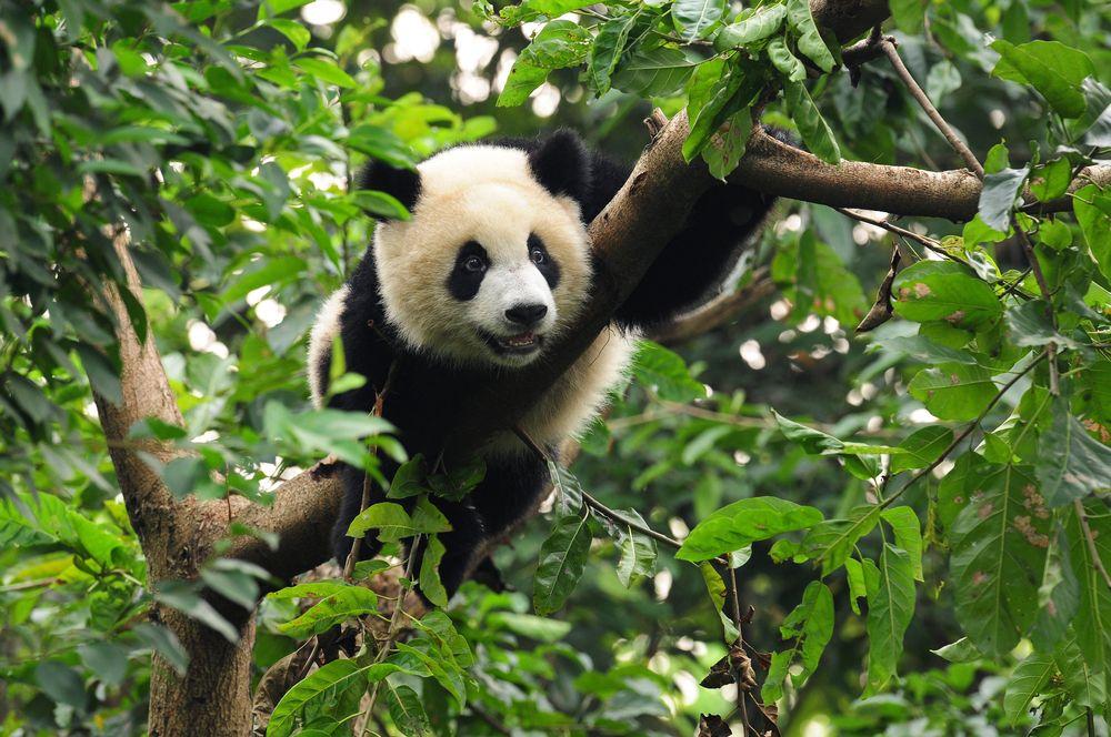 Giant panda facts - national zoo, Giant panda order ...
