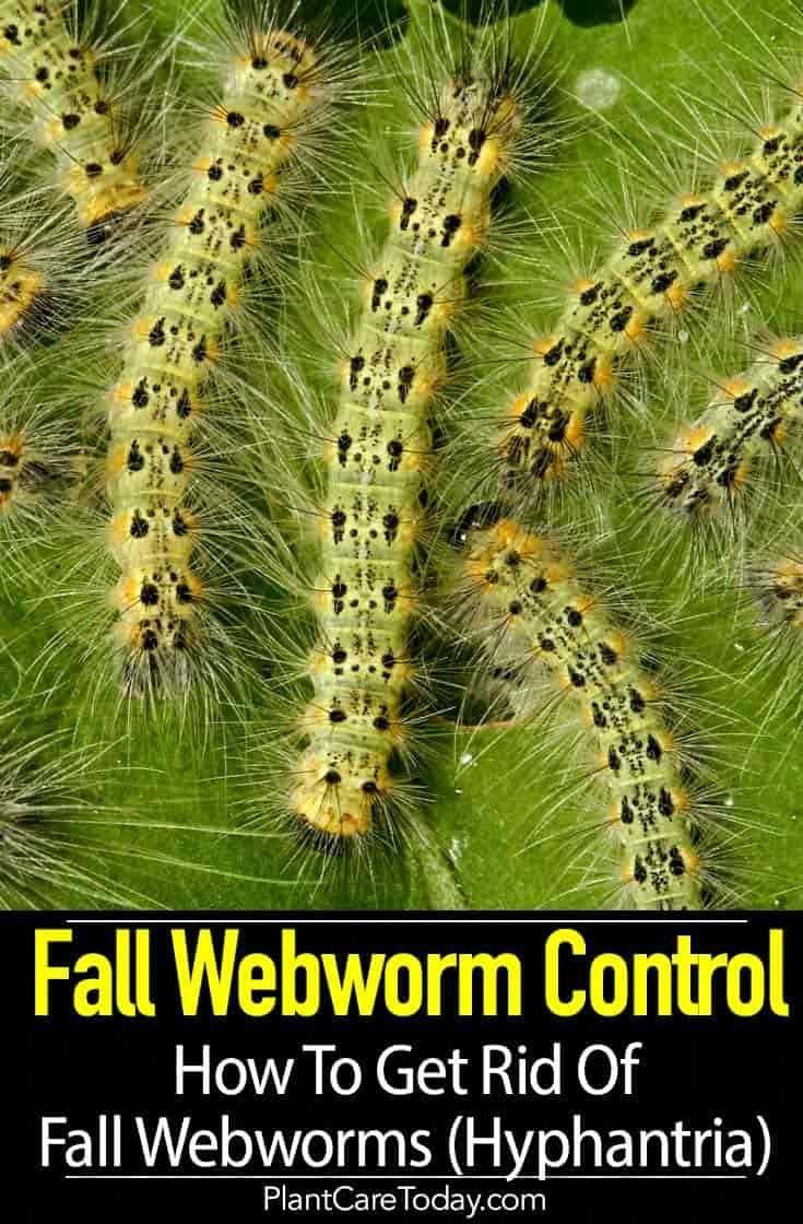Fall webworm are they poisonous harmful how to get rid