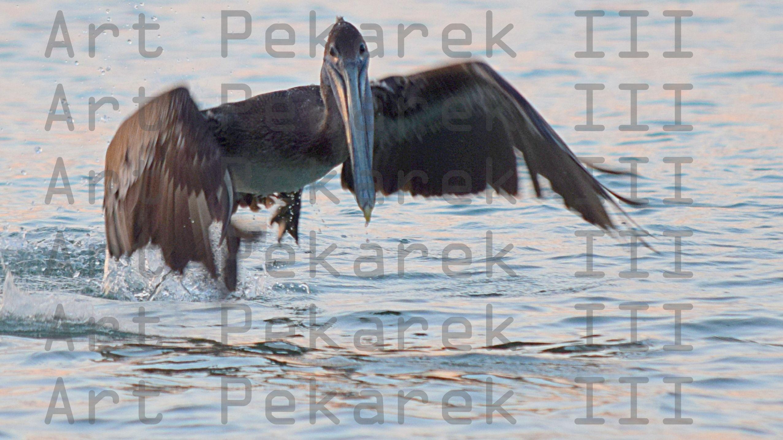 Pelican Going In the Water.