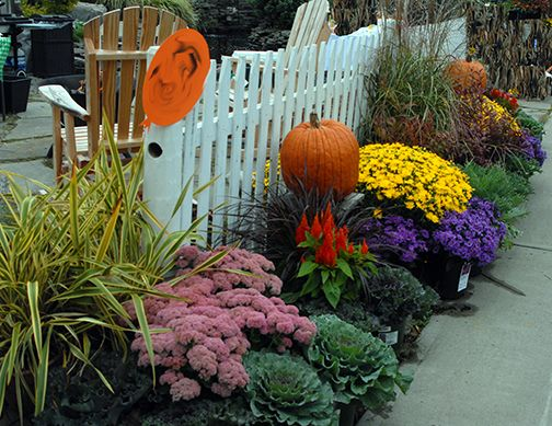 Keeping Fall Mums From Year To Year Autumn Garden Fall Mums Fall Plants