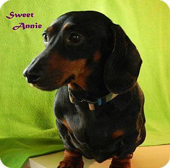 Dachshund Dog for Sale in Cincinnati, Ohio Annie Dee