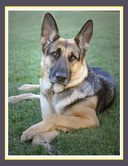 Appleridge German Shepherd Dogs Dogs German Shepherd Dogs