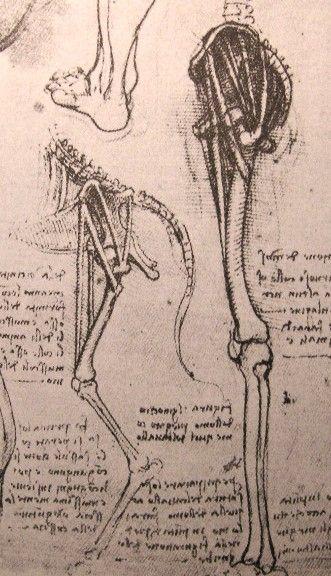Anatomy Of Dog And Man Da Vinci Said I Have Found That In