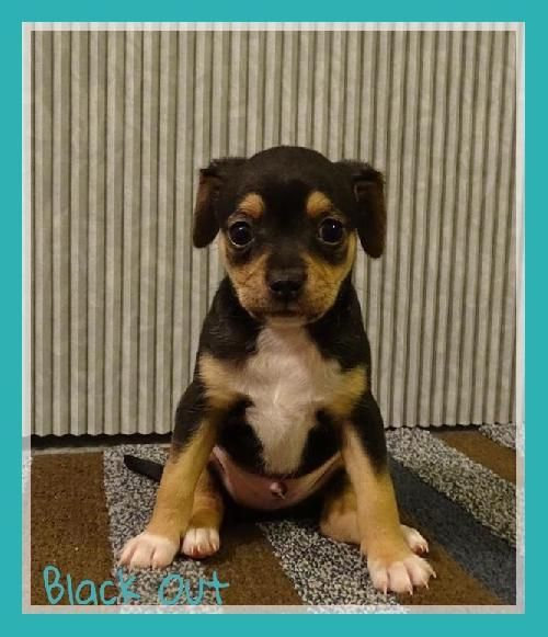 Black Out S Web Page Chihuahua Chihuahua Mix Foster Home