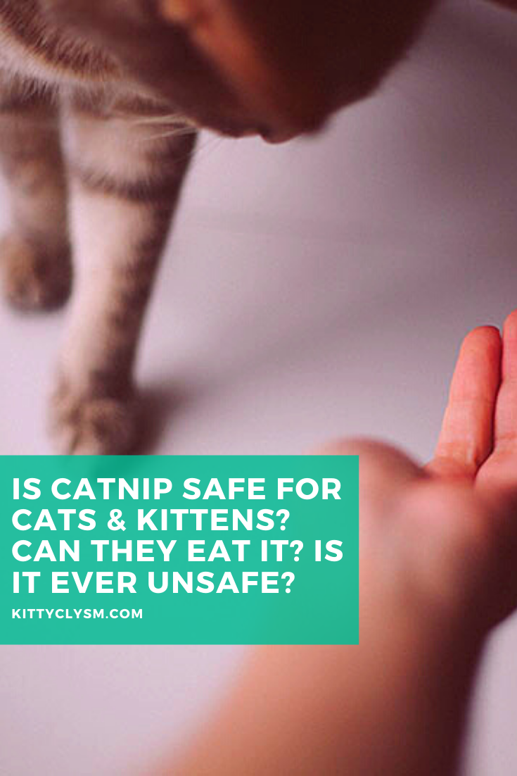 Is Catnip Safe For Cats Kittens Can They Eat It Is It Ever Unsafe In 2020 Catnip Foods Cats Can Eat Cats And Kittens