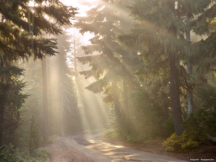 shafts of light through pine forest
