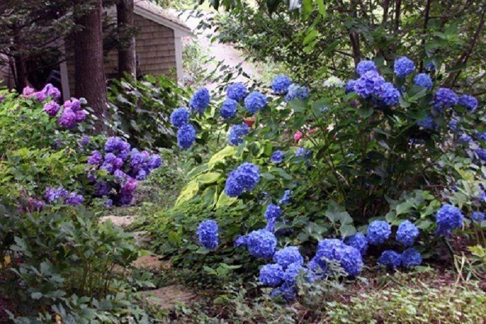 Hydrangea Macrophylla Mathilda Gutges Plant
